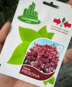 jual benih selada pesona panah merah